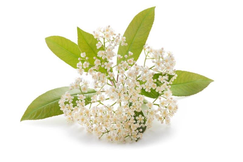 Цветки fraseri Photinia стоковые фото