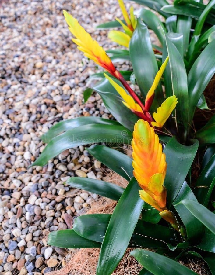 Цветки Guzmania стоковое изображение