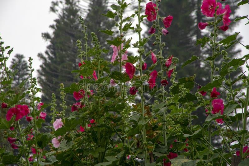 Цветки Hollyhock - красный цвет и пинк против запачканной предпосылки дерева стоковое фото rf
