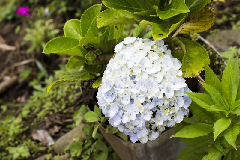 Цветки Hortensia с зелеными листьями закрывают вверх по изолированный на белой предпосылке стоковая фотография