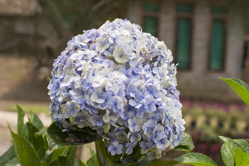 Цветки Hortensia с зелеными листьями закрывают вверх по изолированный на белой предпосылке стоковое изображение
