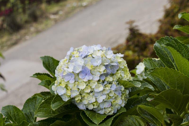 Цветки Hortensia с зелеными листьями закрывают вверх по изолированный на белой предпосылке стоковое фото