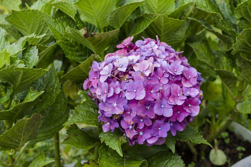 Цветки Hortensia с зелеными листьями закрывают вверх по изолированный на белой предпосылке стоковые изображения
