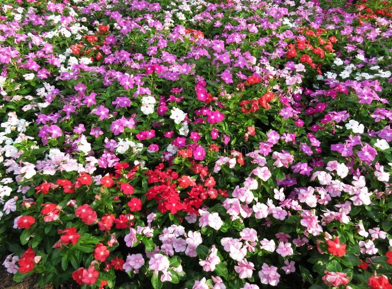 Цветки Impatien лета в июле стоковые изображения rf