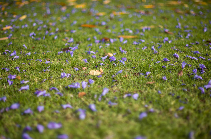 Цветки Jacquaranda на поле травы стоковая фотография rf
