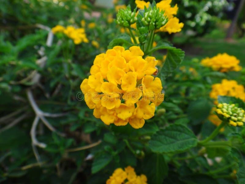 Цветки Lantana - желтый цвет стоковая фотография