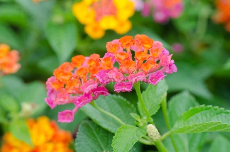 Цветки Lantana стоковые изображения