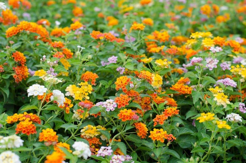 Цветки Lantana стоковое фото