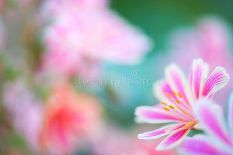 Цветки Lewisia Siskiyou в весеннем времени стоковое изображение rf
