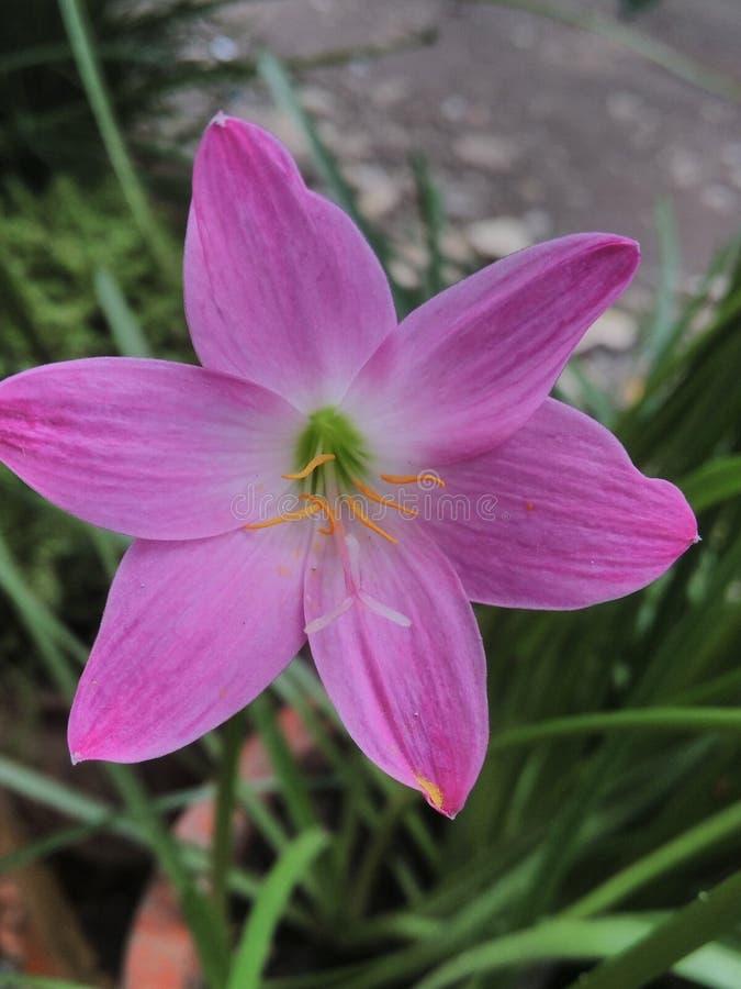 цветки lilly стоковые изображения