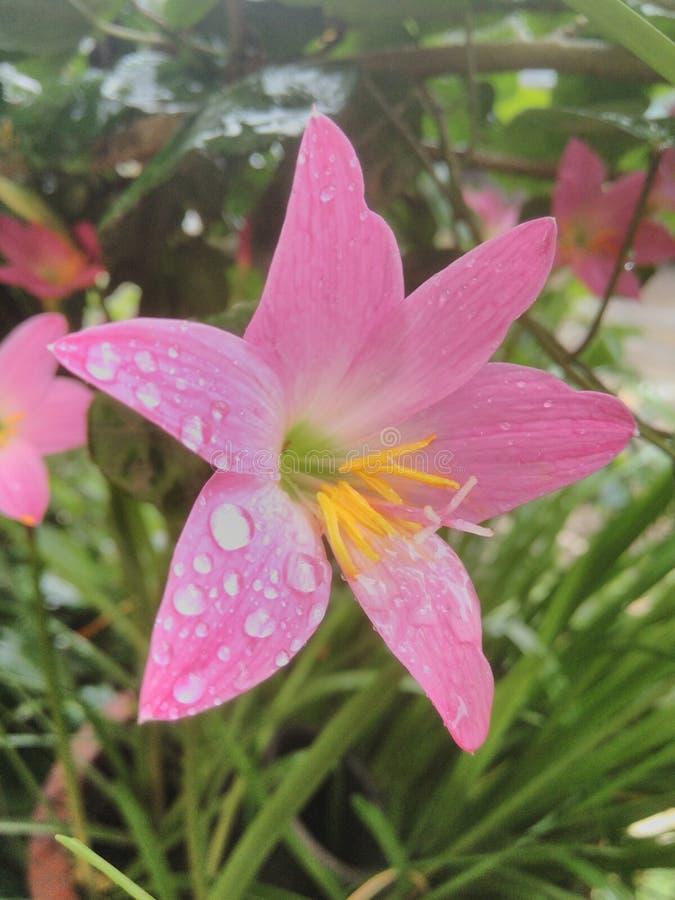 цветки lilly стоковые изображения rf