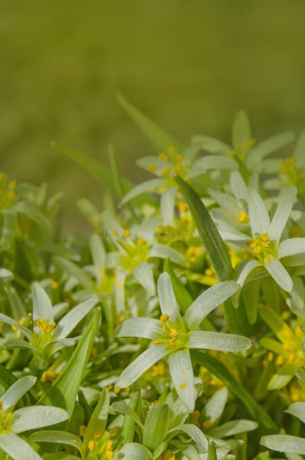 Цветки lutea Gagea стоковые фото