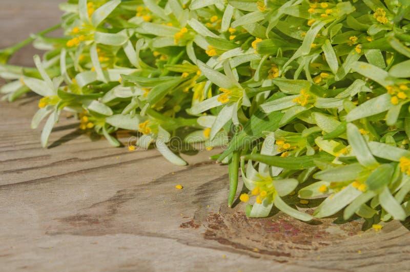 Цветки lutea Gagea стоковое изображение