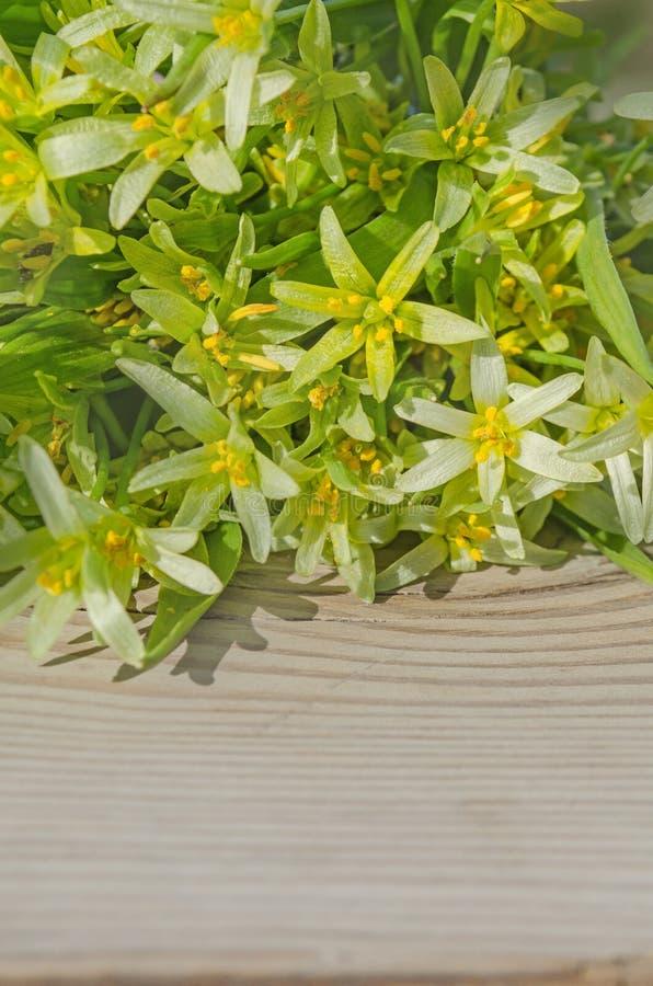 Цветки lutea Gagea стоковое изображение rf
