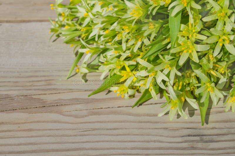 Цветки lutea Gagea стоковая фотография rf