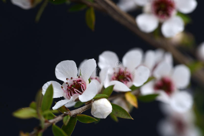 Цветки Manuka стоковое изображение rf