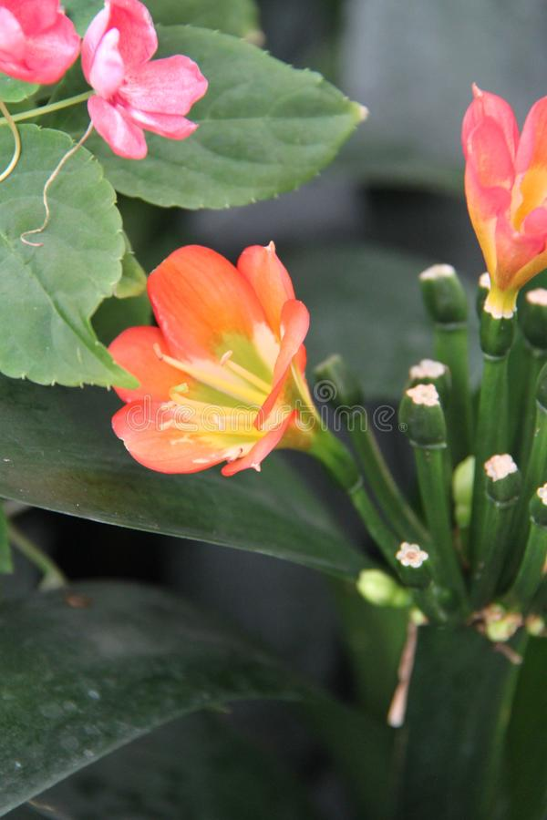 Цветки miniata Clivia стоковое фото rf