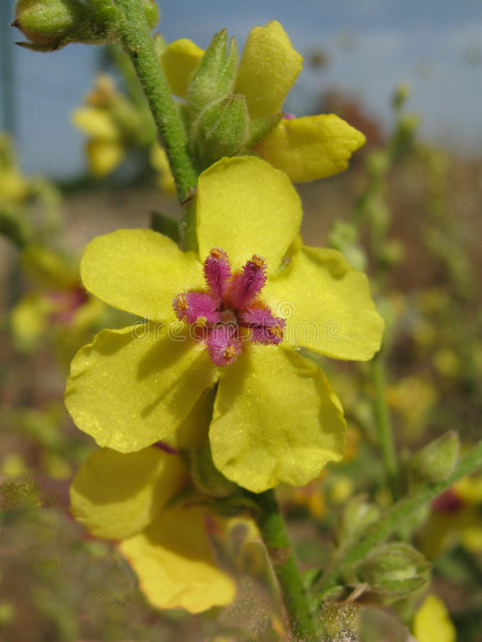 Цветки Mullein стоковые фото
