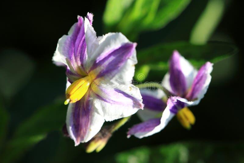 Цветки muricatum Solanum стоковое фото