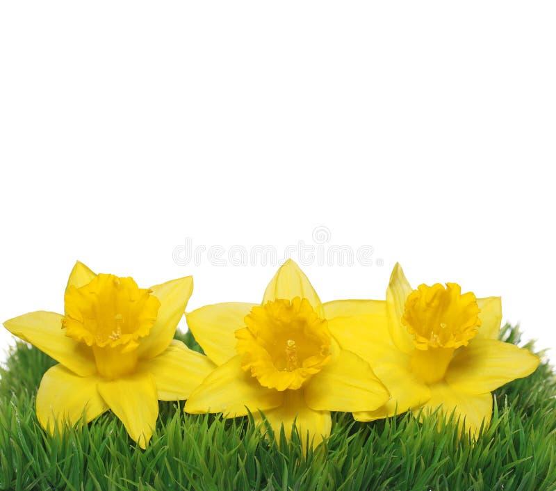 Цветки Narcissus весны. Желтые Daffodils стоковое изображение