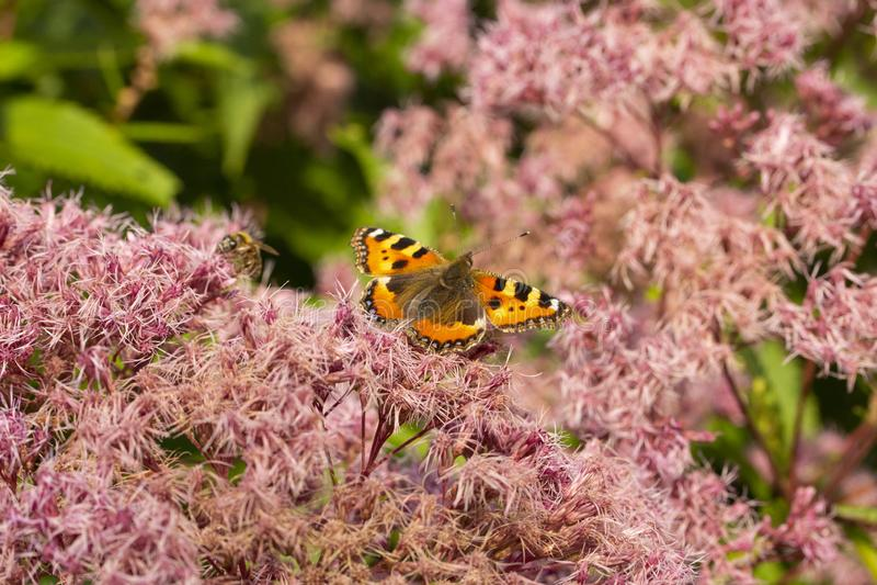 Цветки odoratum Eupatorium пушистые Urticae Tortoiseshell бабочки небольшие на зацветая розовых ворсистых цветках, бабочке есть ц стоковая фотография