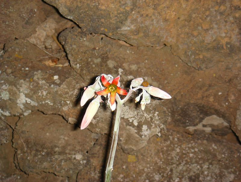 Цветки orbiculata семядоли стоковое фото rf
