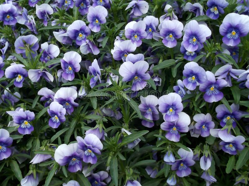 Цветки pansies летели Справочная информация стоковое фото rf