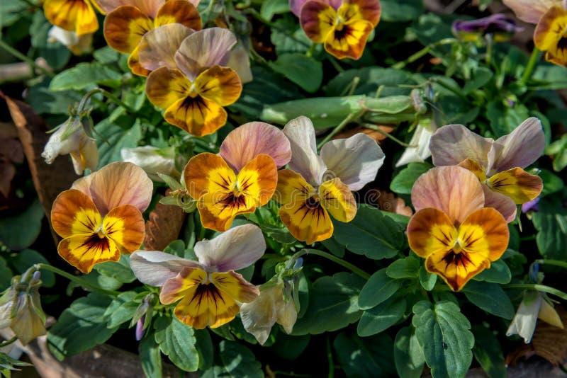 Цветки Pansy стоковое фото rf