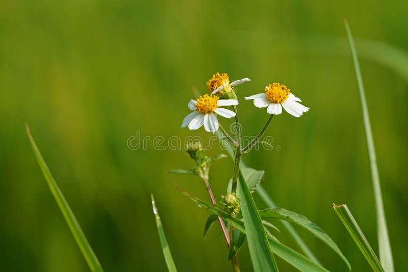 Цветки pilosa Bidens на запачканной предпосылке полей риса стоковое фото