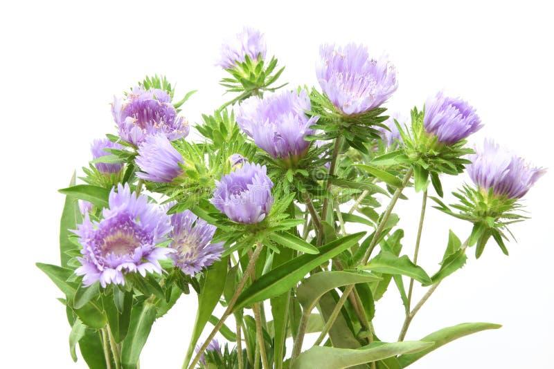 Цветки Pincushion в белой предпосылке стоковое фото