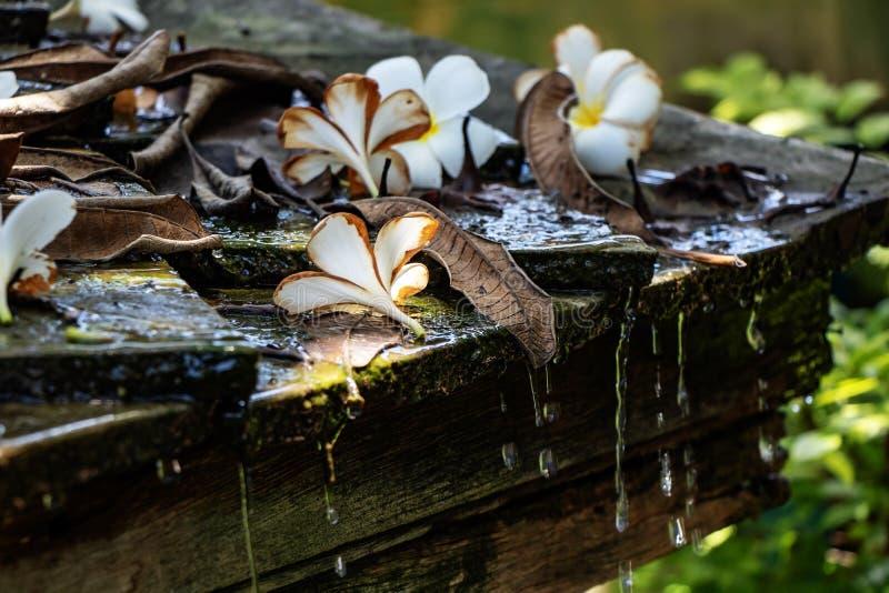 Цветки Plumeria белые на крыше с проточной водой стоковая фотография rf