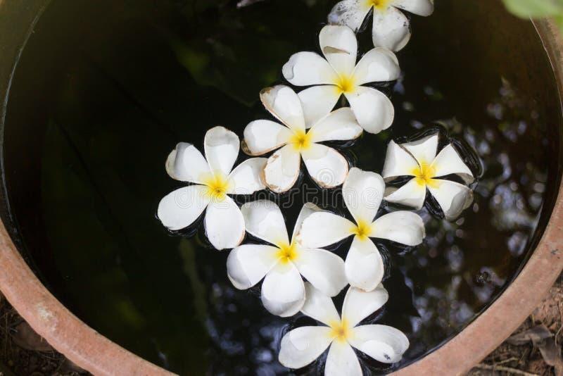 Цветки Plumeria в шаре воды сада стоковые изображения rf