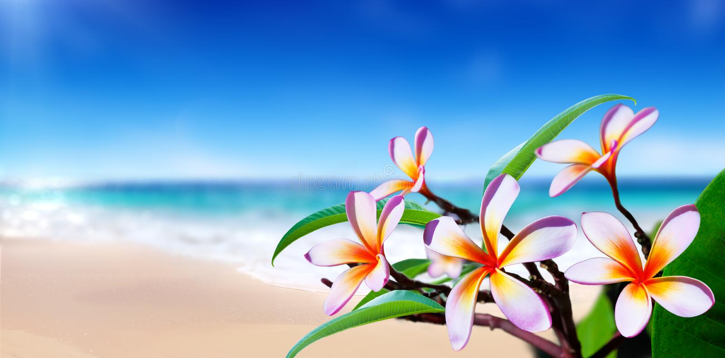 Цветки Plumeria стоковые фото