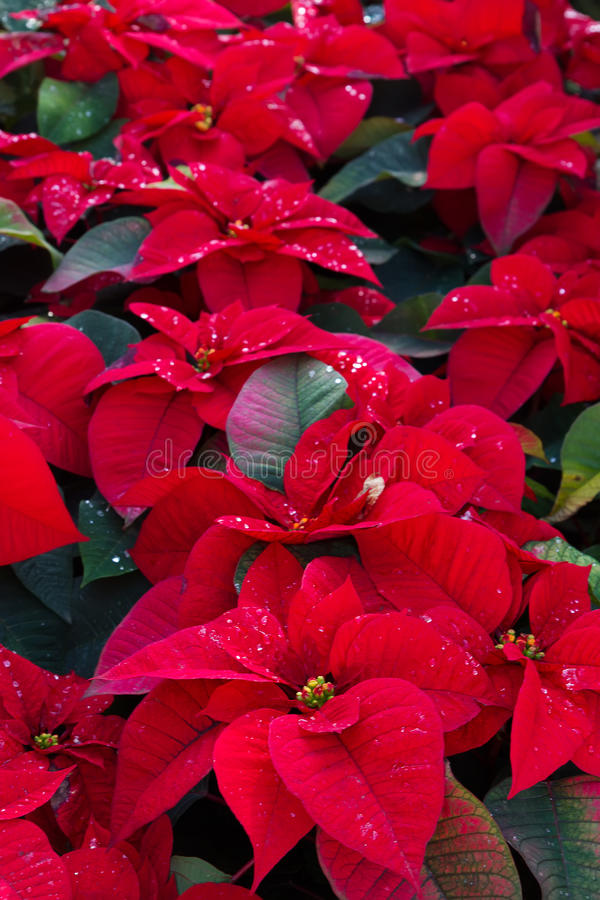 Цветки Poinsetia стоковая фотография