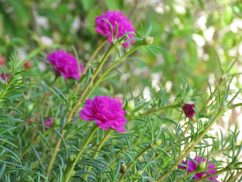 Цветки Portulaca grandiflora, японское Роза или Mose подняли зацветая цвета ярки и живой стоковое фото