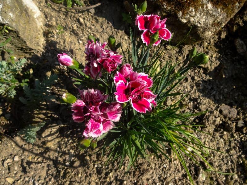 Цветки Rockery стоковое фото