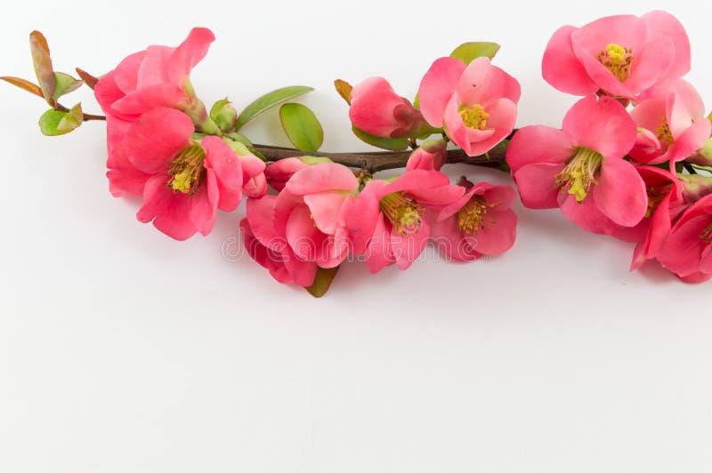 Цветки rugosa Розы на белизне стоковые изображения rf