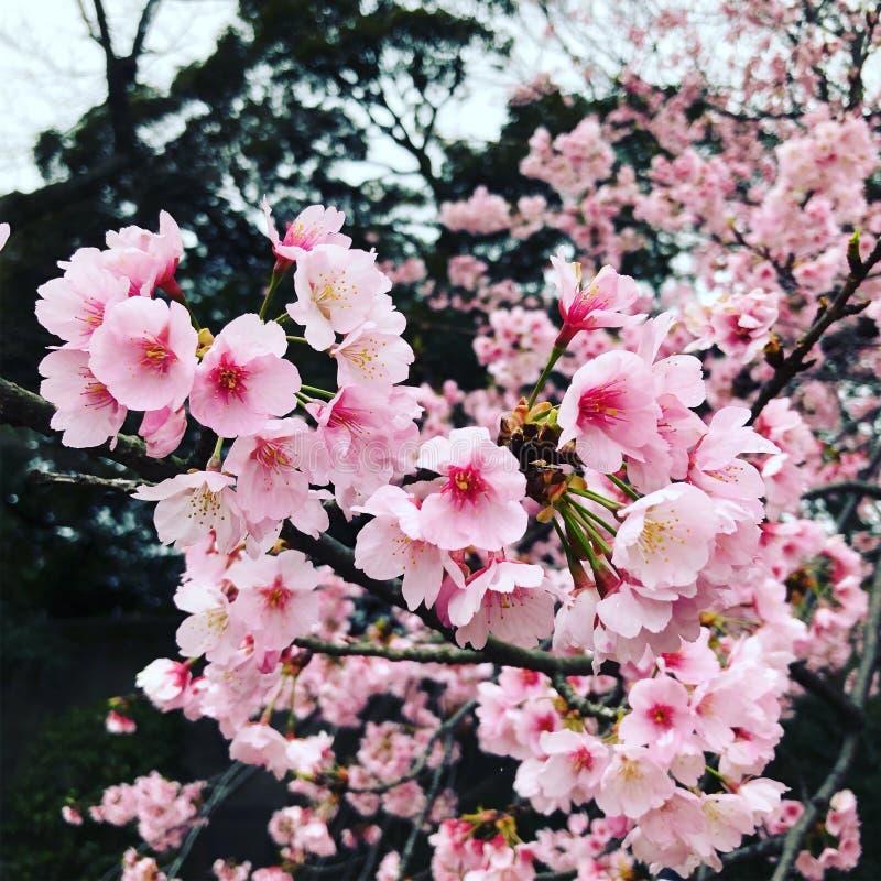 Цветки Sakura стоковые фотографии rf