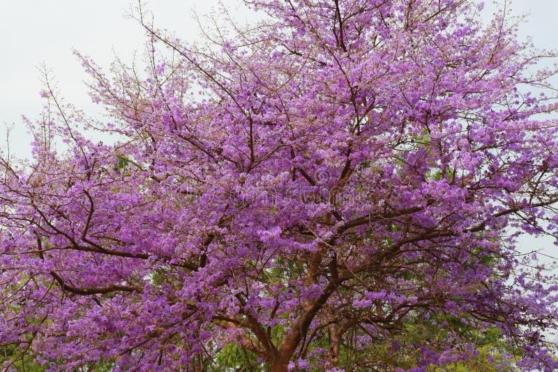 Цветки SalaoBungor, гордость цветок ` s Индии или ферзя стоковое изображение