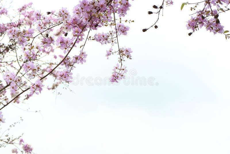 Цветки SalaoBungor, гордость цветок ` s Индии или ферзя стоковая фотография