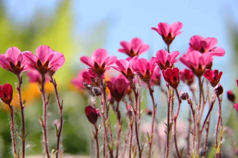 Цветки Saxifrage яркие розовые на предпосылке неба и травы стоковые фото