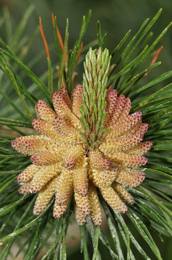 Цветки Scots сосенки стоковое изображение