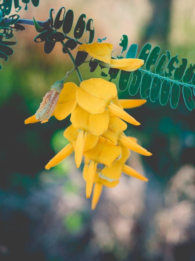 Цветки Sesbania стоковое изображение rf