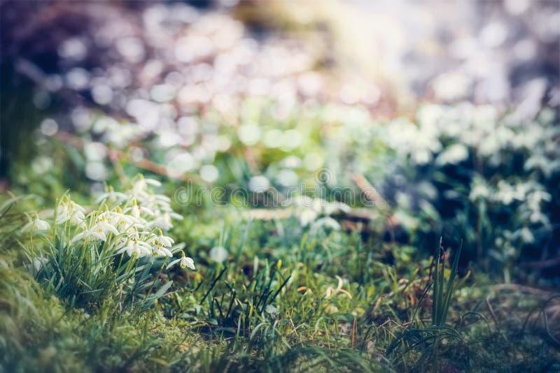 Цветки Snowdrops, внешние Дивная предпосылка весеннего времени с красивой сценой природы весны в саде стоковое изображение rf