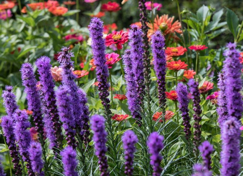 Цветки spicata Liatris в саде лета стоковая фотография rf