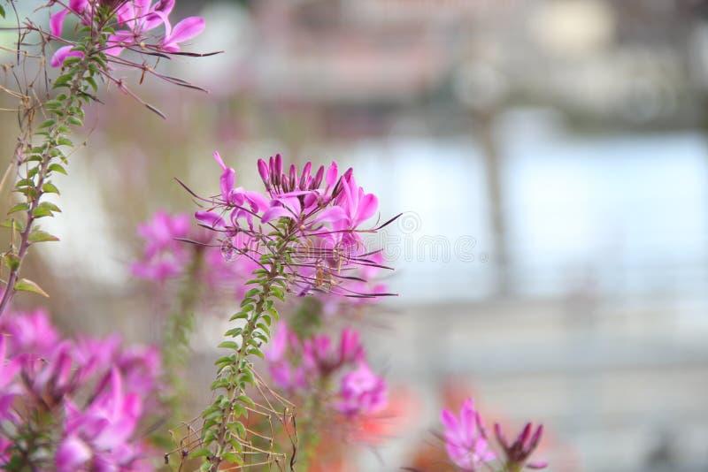 Цветки spinosa Cleome вдоль реки стоковое фото