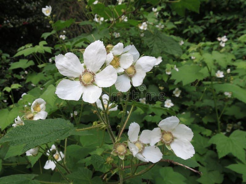 Цветки Thimbleberry - parviflorus рубуса стоковое фото