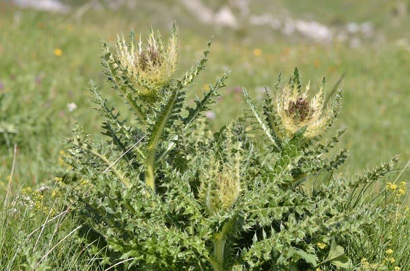 Цветки Thistle Spiniest стоковое фото