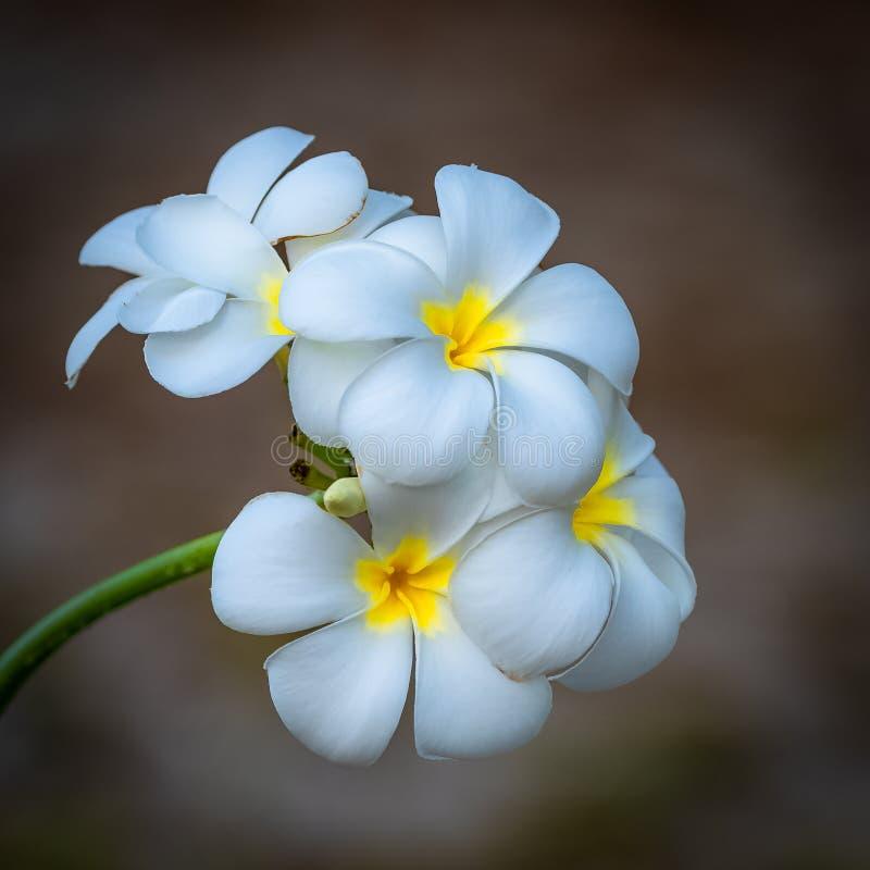 Цветки Tiare стоковое фото