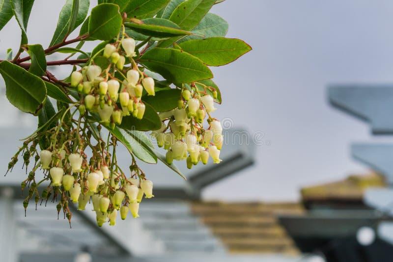 Цветки unedo Arbutus дерева клубники, Калифорния стоковая фотография